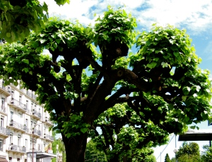 This gem of a tree lined the streets of Geneva. This isn't photoshop... it really looked like this.